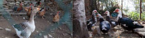 Agriturismo con Anatre, oche e galline